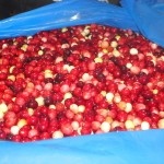 One barrel of cranberries ready for production