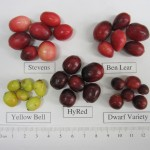 Different cultivars, or types of cranberries