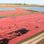 Marsh view of floating cranberries