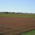 Cranberry bed coming out of dormancy